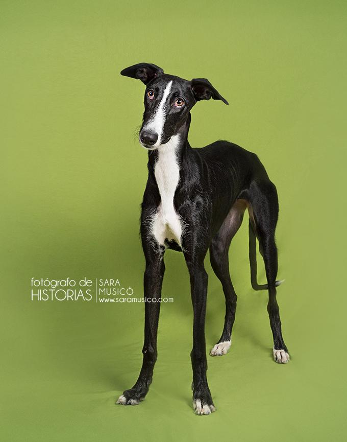 fotografia-mascotas-madrid-galguito09y10